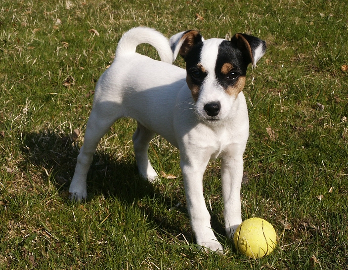 Parson Russell Terrier Growth Essential Oil Benefits...